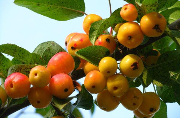 Как сделать яблочный уксус в домашних условиях рецепты