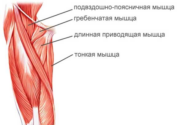 мышцы внутренней части бедра