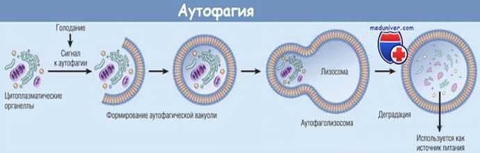 процесс аутофагии
