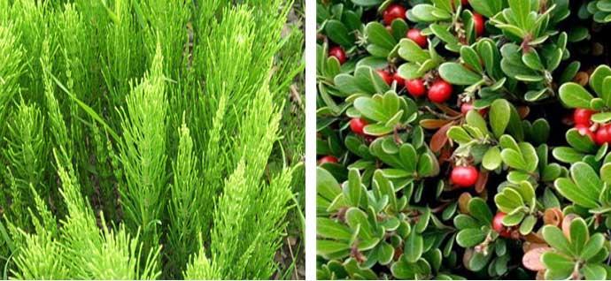 растения диуретики